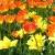 Tulpenbeet (Foto: Carolin Fritz)